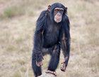 Szympans przegląda Instagram na smartfonie. Nie, to nie żart