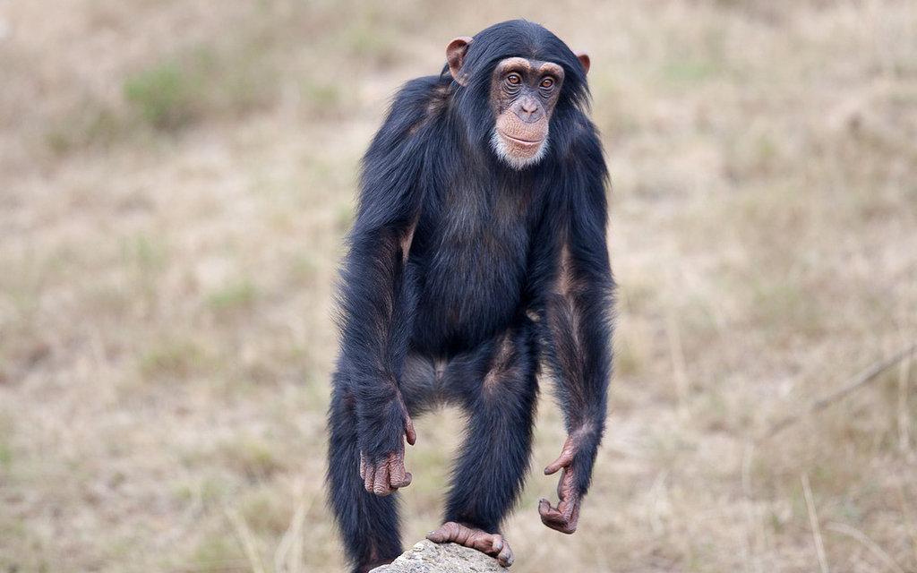 Szympans Instagram